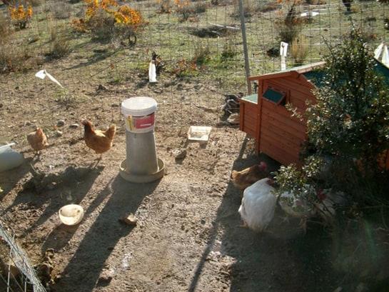 Las gallinas comen pienso natural cuentan con comederos y bebederos automáticos