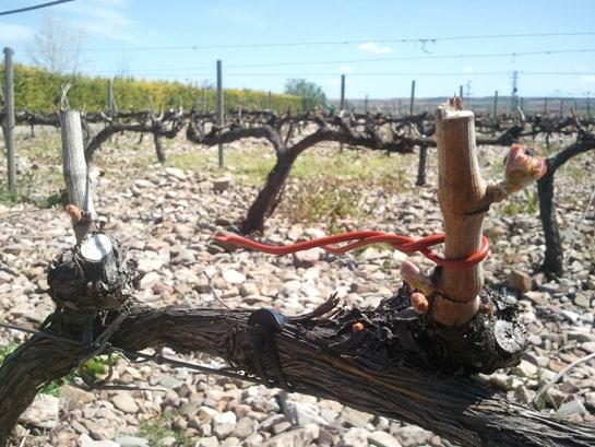 El nuevo tratamiento contra la polilla de las viñas mejora la calidad de los vinos de Cariñena
