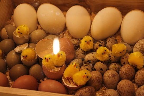 Hermosos huevos para tan pequeños polluelos / JC Morales
