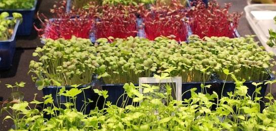 Brotes vegetales cultivados expuestos en Madrid Fusión 2013 / Foto: A. G.