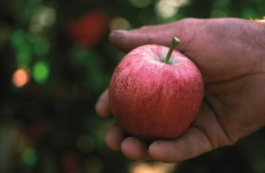 Una manzana Marlene, en el momento de su recolección / Foto: Marlene